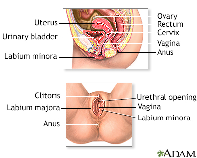 Female reproductive anatomy
